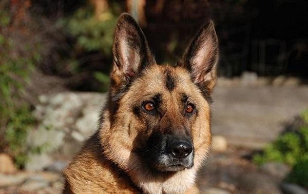 Собаки будут «вычислять» людей с шизофренией