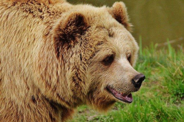 В Красноярском крае от нападения дикого медведя погибла женщина