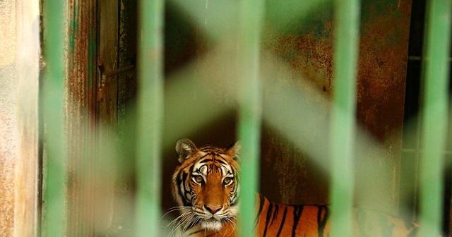 Врачи Орской больницы спасли сотрудника цирка, на которого напал тигр