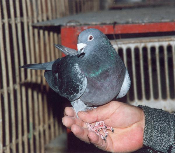 На аукционе в Бельгии за $2 млн продали гоночного голубя