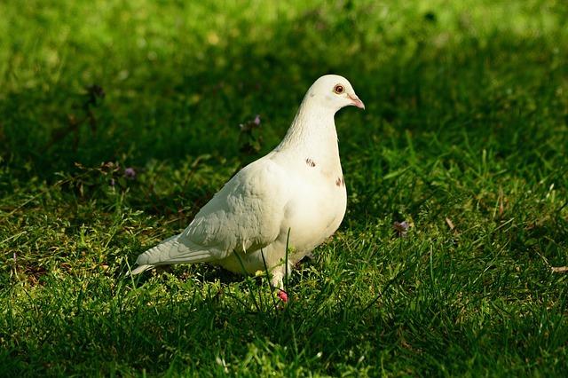В Австралии обнаружен голубь, прилетевший из США