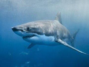 Более 100 лет назад нападения акул терроризировали берег Джерси