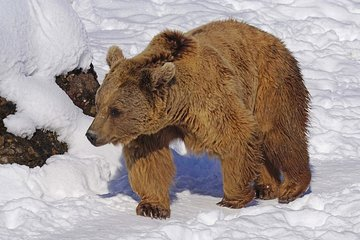 В Нижневартовске поймали сбежавшего медведя