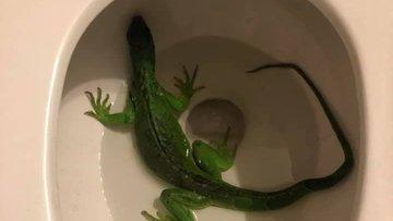 Житель США встретился в своем туалете с игуаной