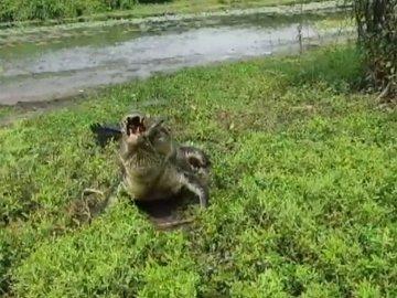 Крокодил загнал австралийских рыбаков на дерево