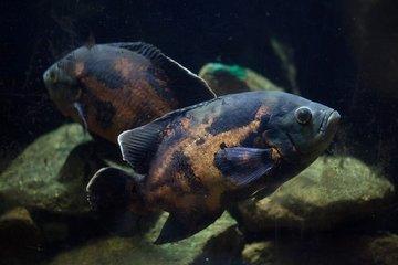 Мужчине грозит тюрьма за бесчеловечность к аквариумной рыбке