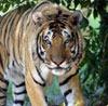 Глобальное потепление вынудит тигров переселиться в города